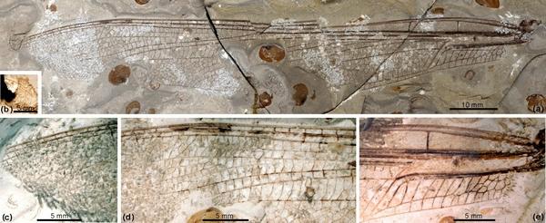 赵氏修复蟌蜓(新属新种)前翅光学照片