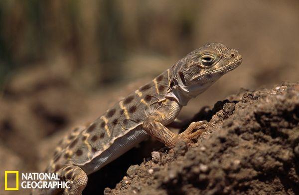 钝吻豹纹蜥