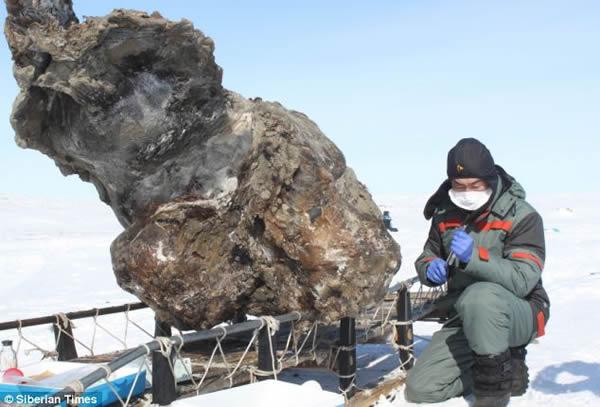 新西伯利亚群岛上发现保持液态血液的猛犸象