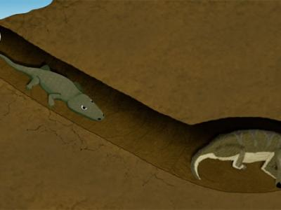南非发现2.5亿年前一只两栖动物爬进哺乳动物祖先洞穴的化石