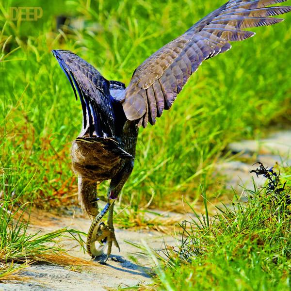 带毒猛禽大战毒蛇 在繁殖季节,蛇雕把巢建在高大茂密的树冠间。成雕抓到蛇后会留一截蛇尾在喙外,回到巢里小雕叼着蛇尾拉出整条蛇慢慢享用。小雕跟着父母学习飞翔、捕食两月后,就要独自去闯荡江湖。