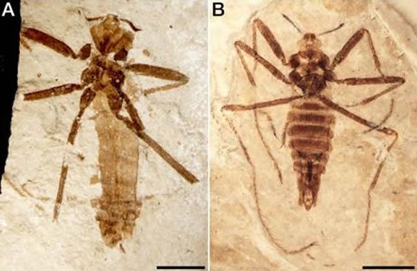 新物种Saurophthyrus exquisitus