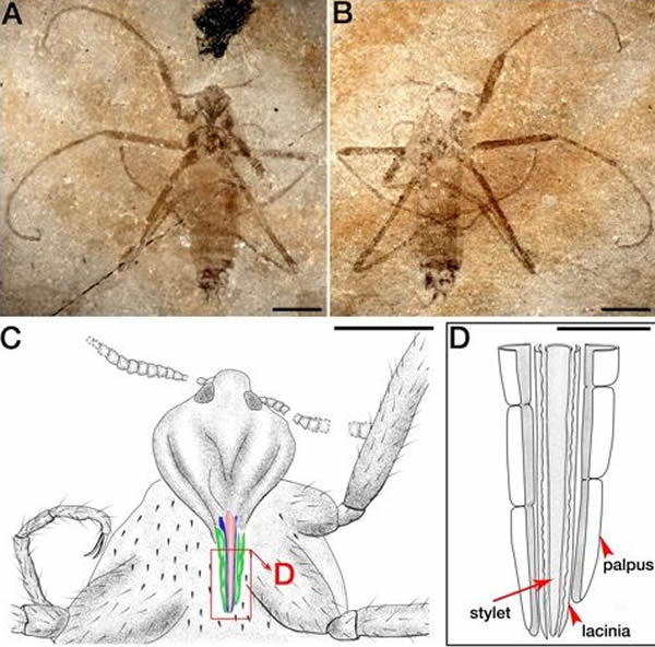 Saurophthyrus exquisitus跳蚤拥有更小的用于吸血的嘴巴管,更小的身体和更长的腿。