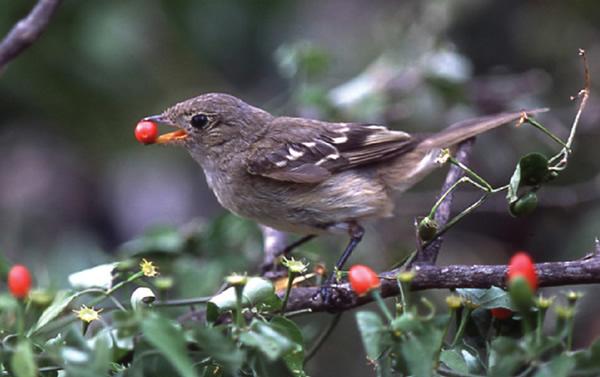 南美洲野生辣椒的种子经过鸟类的肠道后发芽的可能性提高四倍