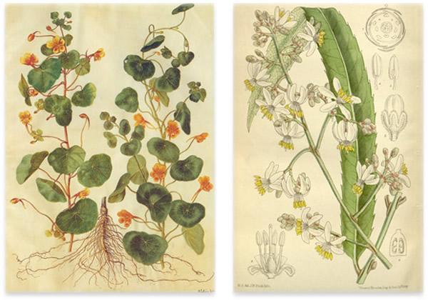 旱金莲科(左)、叠珠树科(右)