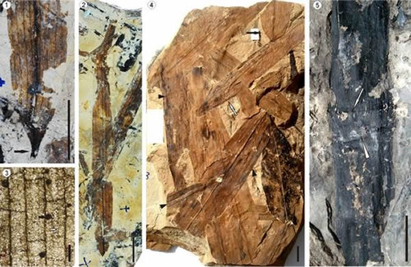 三章田竹子化石。1-3,Bambusium angustifolia;4,Bambusium latifolia;5,Bambusiculmus angustu