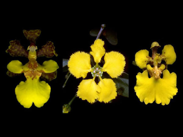 """根据最新的研究结果,秀丽雅致的黄色龟壳兰花竟是""""身份窃取者""""(图右)。"""