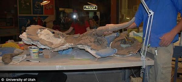"""美国发现7600万年前新种恐龙化石——""""大鼻角龙"""""""