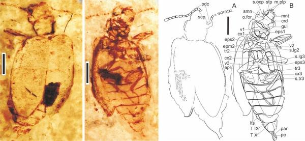 侏罗甲化石及结构图