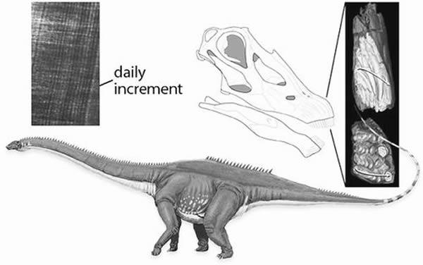 两种恐龙在牙齿形状和换牙频率上的差异使其能够共存