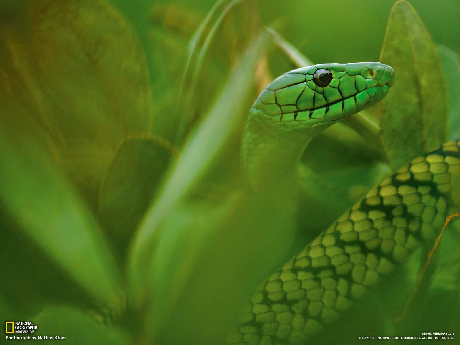 唯美 喀麦隆/喀麦隆一条简氏曼巴蛇