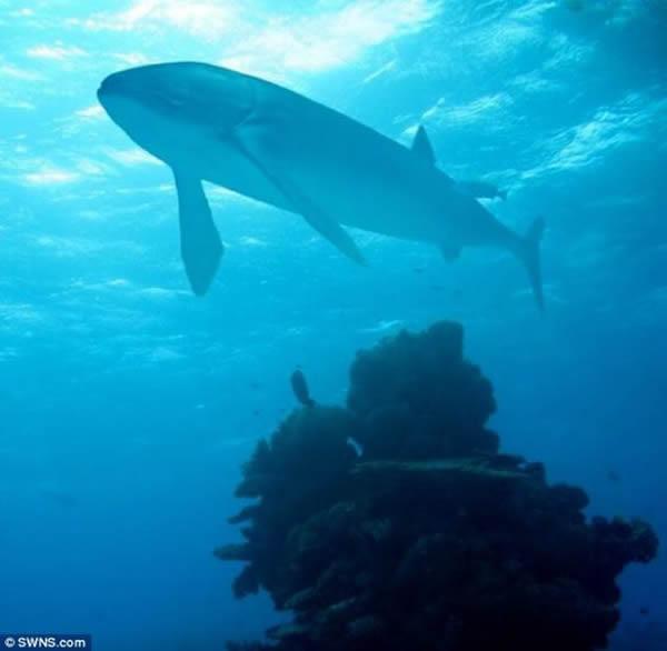 布里斯托尔大学的科学家认为这种多骨鱼在20年时间里的身长便可达到9米左右,38年后,它们的身长可达到16.5米,超过鲸鲨。1886年,著名古生物学家阿尔弗雷德-