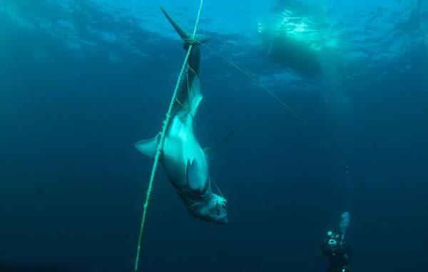 澳大利亚海洋保护区鲨鱼遭屠杀