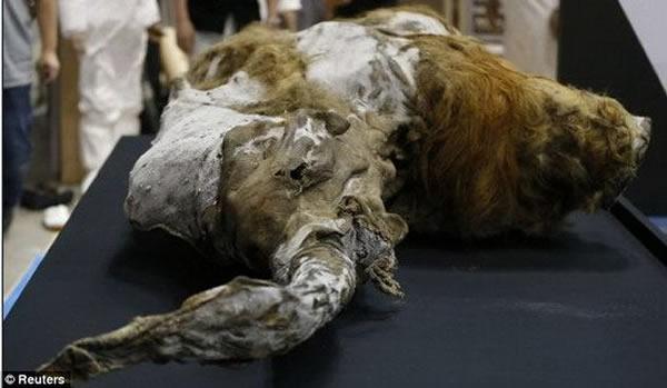"""曾成功克隆世界上第一个哺乳动物——""""多利""""绵羊的著名干细胞科学家伊恩-维尔穆特表示,现代科学技术能够使猛犸重返地球。图中是在日本展览的俄罗斯""""尤卡""""猛犸尸体"""