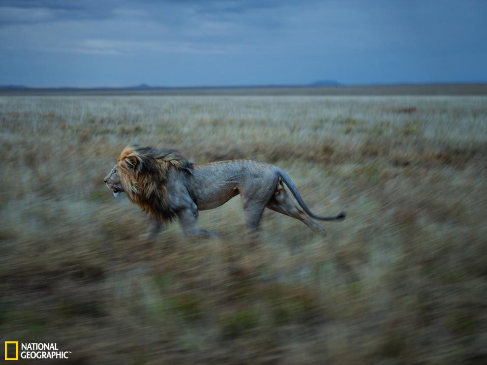 的成年雄狮,在野外最多能活到12岁左右.雌狮的寿命相对较长,甚至