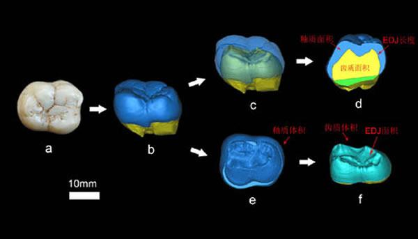 巨猿牙齿二维与三维釉质厚度的测量(张立召供图)