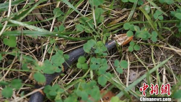 神农架自然保护区白头蝰蛇现身高清图片