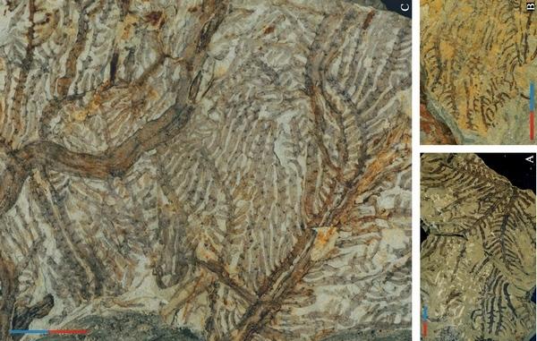 黔羽枝化石