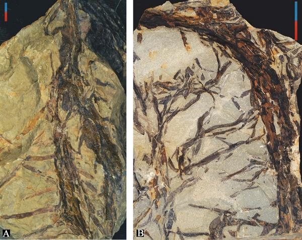 与黔羽枝共同产出的不规则分枝植物化石