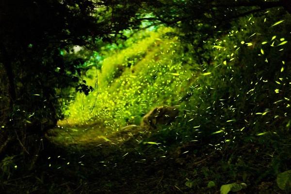 探秘神奇的森林萤火虫