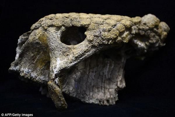 图中是雕齿兽的头骨化石,他认为数百万年前远古人类曾与史前巨兽共同生活在一起