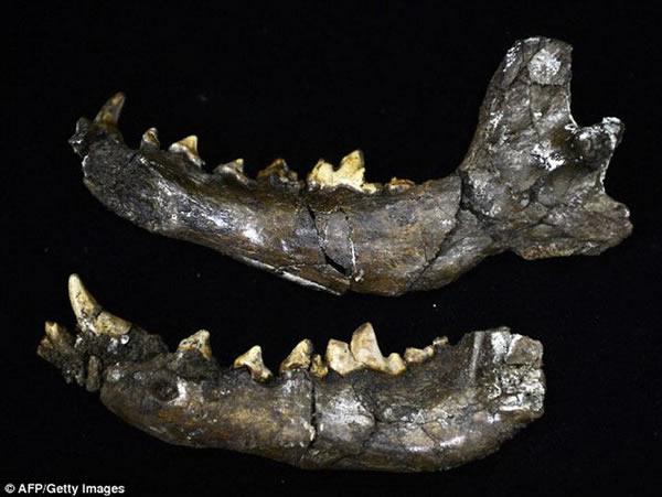这是一个动物颌骨化石,目前研究人员正在搜寻史前人类的骨骼化石