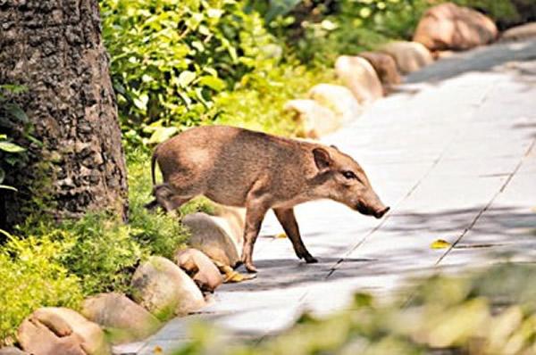 其中一只在海洋公园出没野猪最终突围逃脱