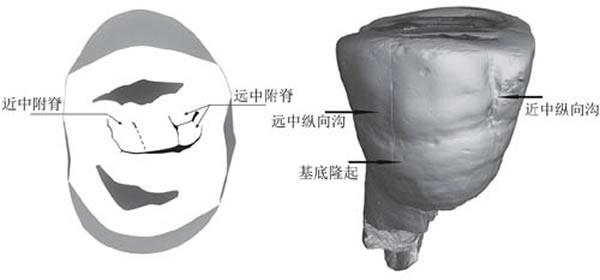 新发现的和县直立人上第三前臼齿(P3)咬合面(左)和颊侧面(右)形态特征(邢松供图)
