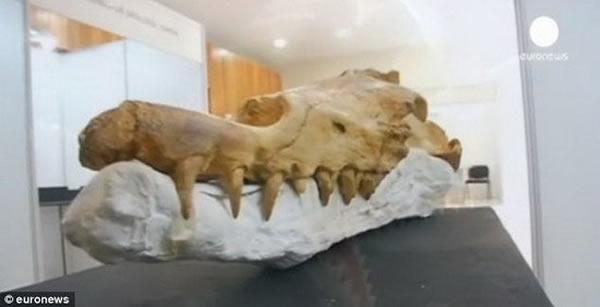 """秘鲁发现4000万年前""""行走鲸鱼""""的骨骼化石"""