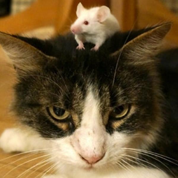揭开老鼠不怕猫之谜
