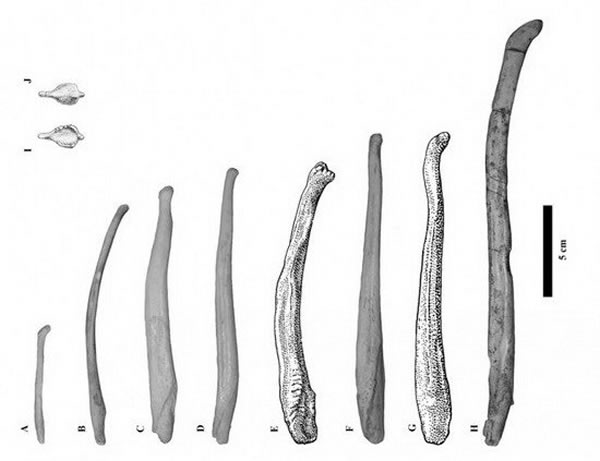 远古熊阴茎化石首次揭晓灭绝熊物种的生活和交配方式