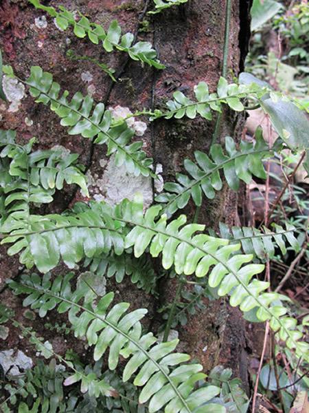 刘红梅博士在越南野外拍摄的爬树蕨植物