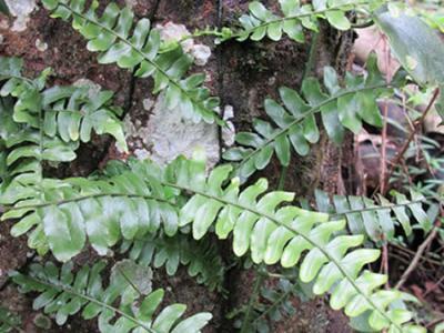 """发现蕨类植物—新""""科""""——""""爬树蕨科"""""""