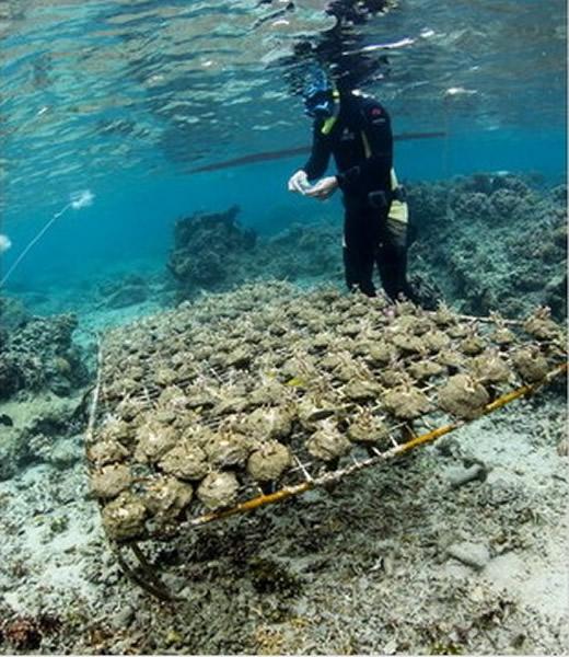 研究人员收集珊瑚与海藻,让它们进行接触实验。