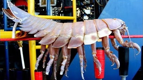 大王具足虫专吃死掉的鲸鱼腐肉