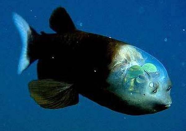 管眼鱼长着透明的脑袋和管状眼睛