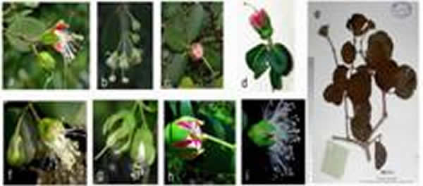 现代海桑属Sonneratia植物