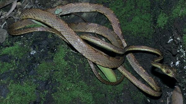 """厄瓜多尔西北部丛林十分神奇的新种蛇类""""猫眼蛇"""""""