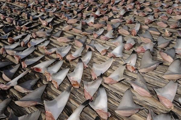 鲨鱼 鱼翅图片_鲨鱼摄影师新书《鲨鱼与人》 - 神秘的地球 科学|自然|地理|探索