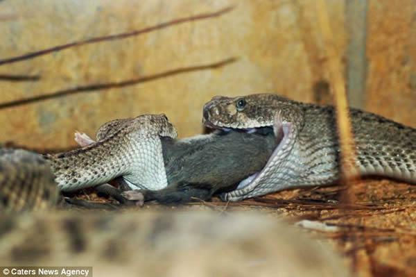 响尾蛇版的 小姐与流氓