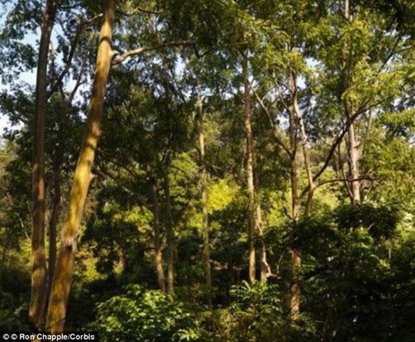 科学家发现黄金微粒沉积在桉树树叶上,这些黄金微粒太小,难以通过肉眼进行观看,但可以使用擅长采集微量金属和矿物质的X射线设备进行探测