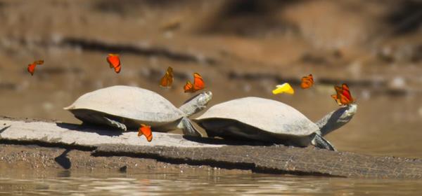 秘鲁一群蝴蝶在乌龟头部试图汲取乌龟泪水