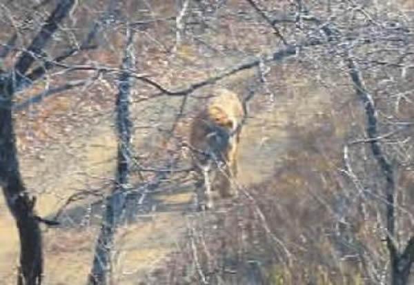 珲春/珲春摄影爱好者在山中拍到野生东北虎