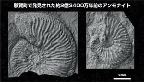 日本首次发现2亿3400万年前美女神菊石化石