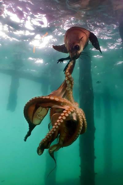 澳大利亚莫宁顿半岛海狗捕食大章魚