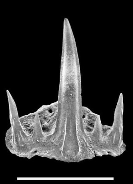 cladodontomorph鲨鱼牙齿