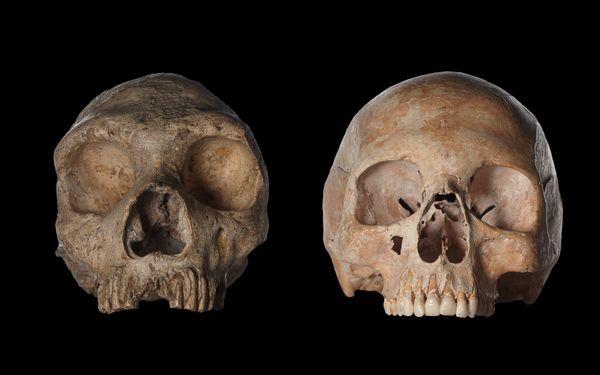 一个尼安德特人的头骨(左)和一个现代女性的头骨(右)。