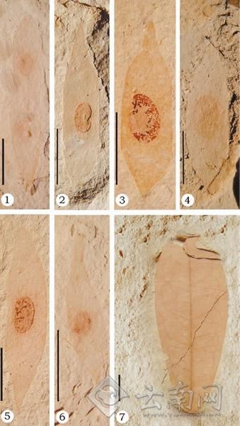 云南临沧发现晚中新世黄檀属荚果和叶片化石