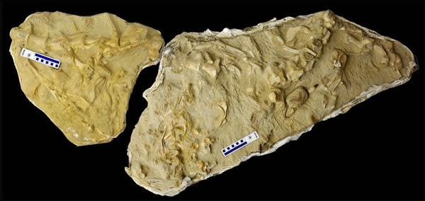 化石化的沧龙骨骼,胃里有另外三个沧龙物种的骨头。