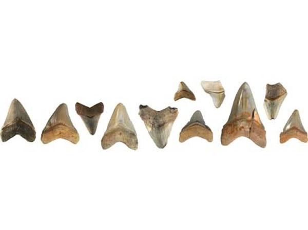 全世界各地收藏的巨牙鲨的牙齿。